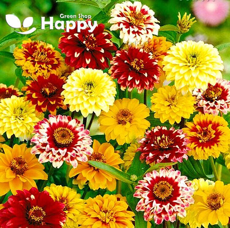 Zinnia - Persian Carpet mixed - 350 seeds - Zinnia haageana - Double flowered