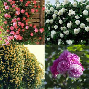 100-Pcs-Climbing-Rose-Seeds-Rosa-Multiflora-Perennial-Fragrant-Flower-Fashion