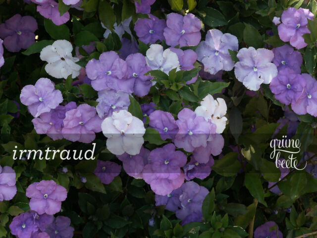 Brunfelsia pauciflora•10 Samen/seeds •Brunfelsie•'Yesterday-Today-and-Tomorrow'