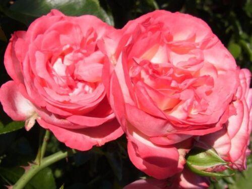 Kletterrose Rose Antike89® 7 L Container