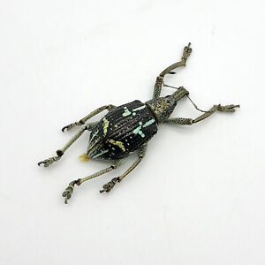 The-Weevil-Beetle-rhinoscapha-insignis-Insect-Specimen