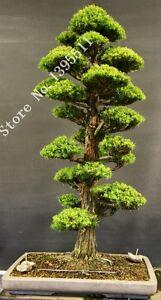28PCS-BAG-rare-tree-seeds-for-home-bonsai-JAPANESE-CEDAR-Semillas-bonsai-seeds