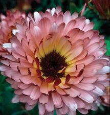 40+ CALENDULA TRIANGLE FLASHBACK FLOWER SEEDS / RE-SEEDING ANNUAL