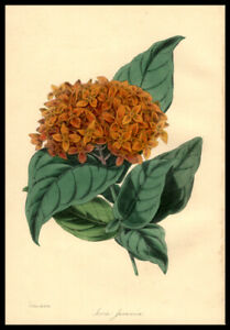 Jungle-Flame-1848-Paxton-Hamd-Colored-Lithograph-Botany-Horticulture-Flowers