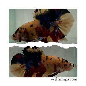 Nemo Koi Giant Betta OC-501 ( Male ) 3 Inches