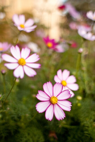 Schmuckkörbchen 500 Samen Cosmee Cosmos Bipinnatus Pink