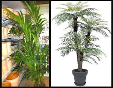Das Palmen Set Kentia/ Dattel exotische Pflanzen Deko für den Balkon die Wohnung