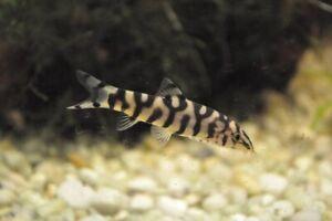 3-Yoyo-Loach-Loach-Live-Freshwater-Aquarium-Fish