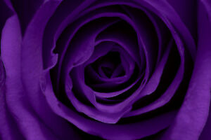 purple rose canvas pictures modern close flower prints floral home