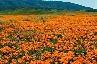 Eschscholzia Californica X82 SEEDS SEMI 150 graines PAVOT DE CALIFORNIE ORANGE