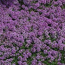 Creeping Thyme Thymus Walk On Me Herb Flower 100 Seeds