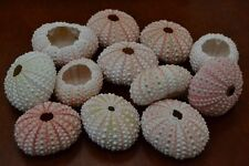 24 PCS BULK PINK SEA URCHINS SEA SHELL BEACH WEDDING NAUTICAL #7396