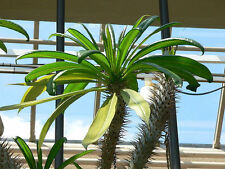 Pachypodium geayii - Madagascan Palm - 10 Seeds