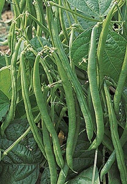 Bohnen Buschbohnen Maxi Gluckentyp 5 kg Samen