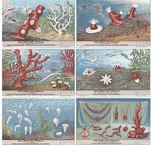 Liebig-Bilder-Serie-1128-034-Das-Leben-der-Koralle-034-Deutsch