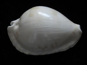 Sea-Shells-Zoila-marginata-63-8mm-ID-3619A