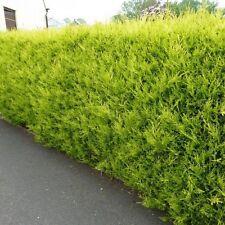 10 X  Gold Leylandii Evergreen conifer hedging plants, 50-70cm pot grown shrubs.