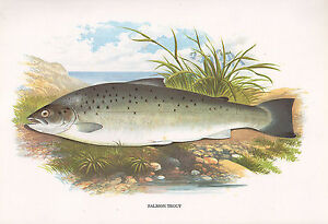 Vintage Faksimile Fisch Aufdruck ~ Lachs Forelle ~ A F Lydon Moderate Price Toys & Hobbies