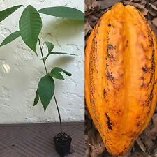 """Yellow Pod Theobroma Cacao Cocoa Chocolate Tropical Tree Potted Plant 20-24"""" 2ft"""