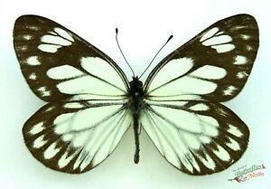 Aporia-Larraldei-Larraldei-Mariposa-Real-X1-Juego-Muestra-China-Entomologia