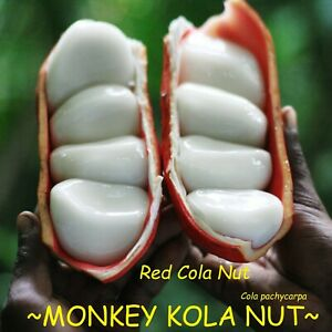 Details about ~MONKEY KOLA NUT~ Cola pachycarpa RED Cola Nut, VERY RARE  Live Sml potted Plant