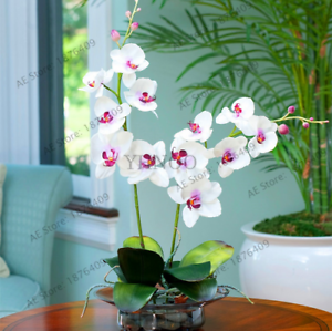 Details About 100 Pcs Seeds Purple Blue Orchid Phalaenopsis Bonsai Flowers Free Shipping 2019