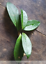 Hoya-young-house-plant-or-unrooted-cutting miniatuur 62
