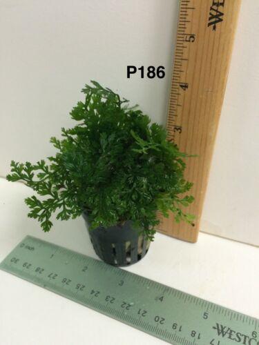 Bolbitis Heteroclita Difformis Aquarium Plant Potted P186L US Seller