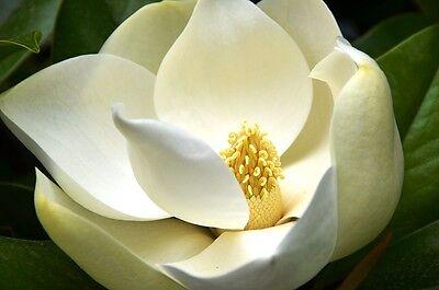 Magnolia Grandiflora (southern magnolia) 5 Reliable Viable Seeds