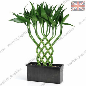 rare lucky bamboo tree dracaena sanderiana plant 10 viable seeds uk supply ebay. Black Bedroom Furniture Sets. Home Design Ideas