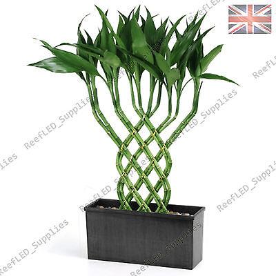 Berühmt seltene glücksbambus baum, dracaena sanderiana pflanze - 10 samen #KW_22