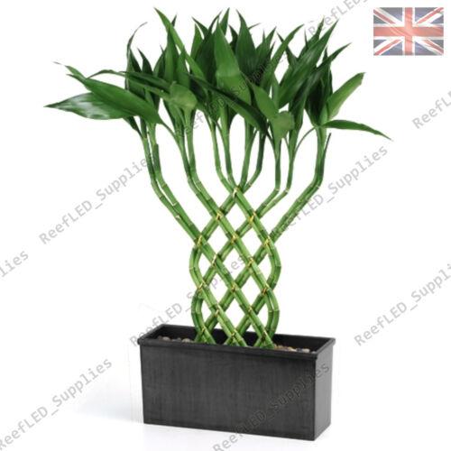 UK 10 Keimfähige Samen Seltene Glück Bambus Baum,Dracaena Sanderiana Pflanze
