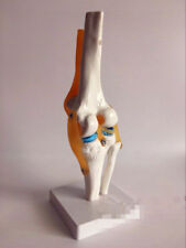 Life Size Knee Joint Model Human Skeleton Anatomy Study Display Teaching Medical