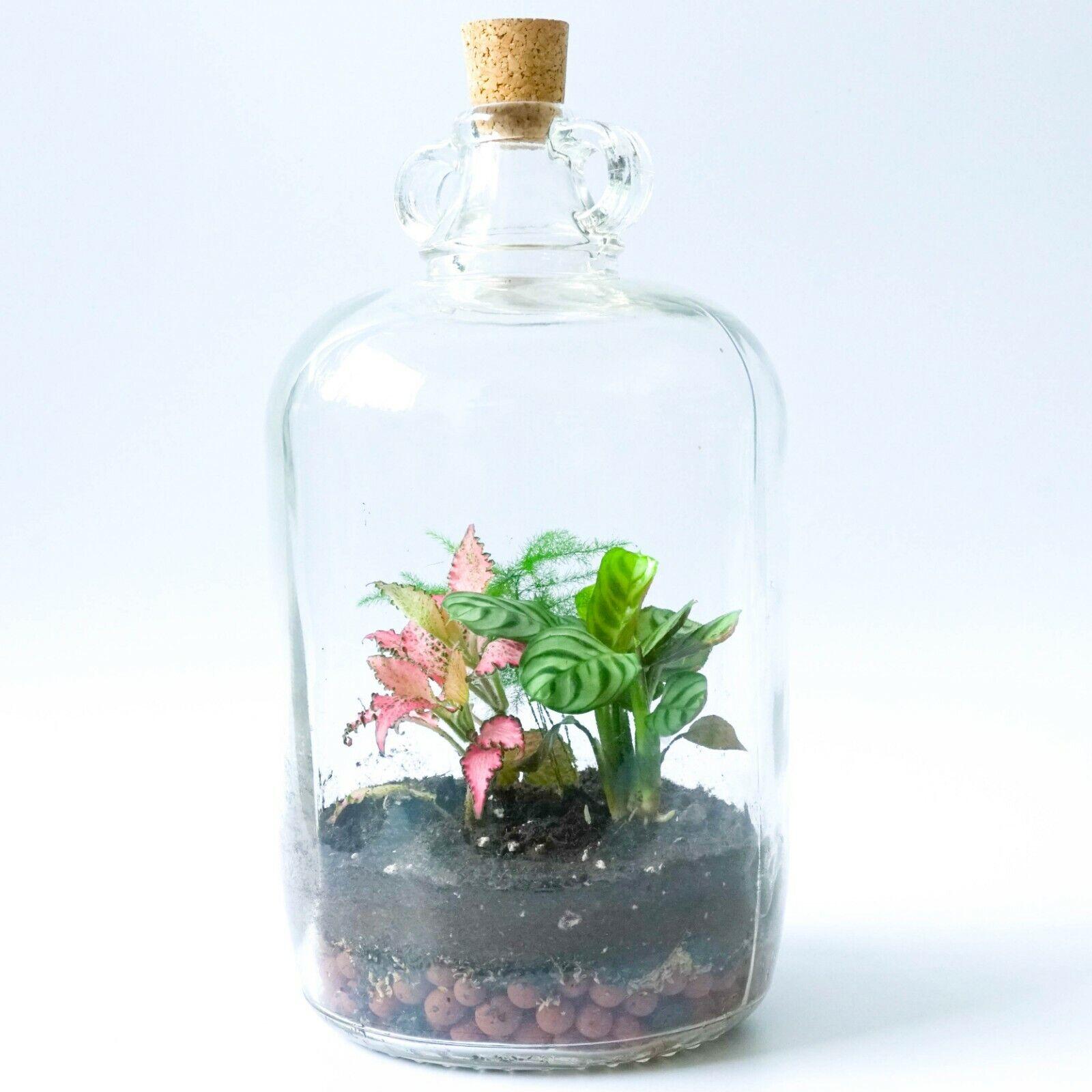 Demijohn Terrarium Kit & Cork Lid DIY Fittonia P er Asparagus Fern Plants