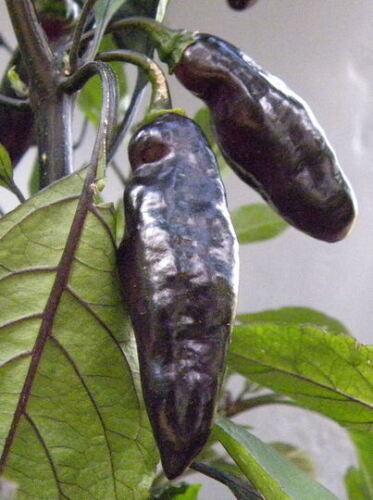 habanero C chinense hot pepper reaper ghost pepper etc chili seeds 20+ pcs