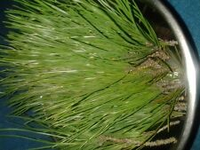 Freshly Picked Pine Tree Needles (Pinus Pinea) 80g Green Bio/Organic Pure Tea