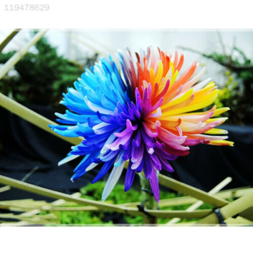 100Pcs Rare Rainbow Chrysanthemum Daisy Dorotheanthus Flowers Seeds Love Garden