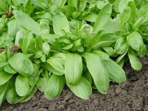 150 Graines de Mâche à grosses Graines Méthode BIO seeds salade légumes potager