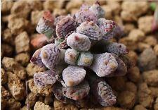 Rare Succulent, Crassula ausensis ssp. titanopsis 10 seeds