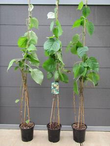 Kiwi-Baum-Actinidia-del-039-Jenny-039-selbstfruchtend-Pflanze-150-170cm-Winterhart