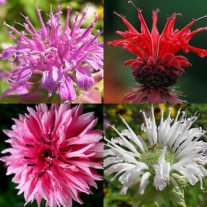 60-BERGAMOT-SEEDS-MONARDA-MIX-RARE-MEDICINAL-PERENNIAL-HERB-BEE-BALM-NATIVE-USA