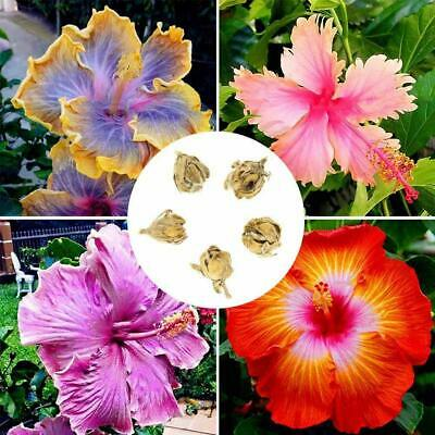 100pc 24 Colors Giant Hibiscus Seeds Dinnerplate Hibiscus Perennial Flower A5U4