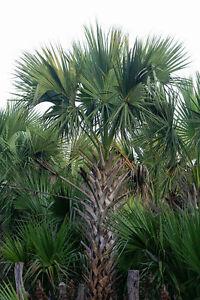 Sabal-mexicana-Rio-Grande-palmetto-Mexican-Texas-Palmetto-Hardy-palm-5-seeds