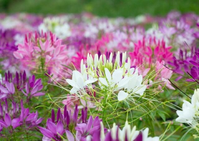 FLOWER CLEOME SPIDER PLANT 1.5GM ~ APPROX 780 FINEST SEEDS