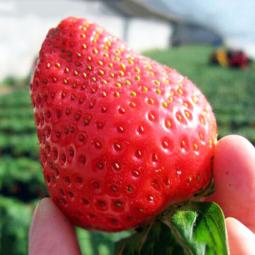 Wohltuend 150Pcs Riesen Strawberry Seeds Vitamin Obst Ausgezeichnet mit