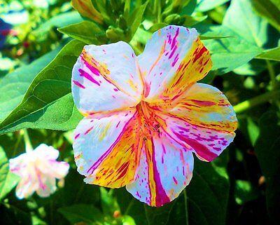Mirabilis Jalapa Rainbow Color Rare Seeds FRAGRANT Four O'clock Beauty of Night