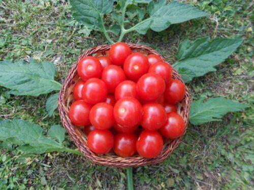 ☼ Honigtomate aus Mexiko ☼ Leckerste Tomate der Welt ♪ tolles Obst ♪ Saatgut ♪