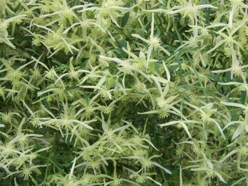 Small-Leaved Clematis 30 Seeds Drought//Frost Hardy