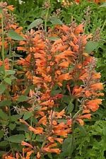 50+ Orange Agastache Hyssop Flower Seeds / Perennial