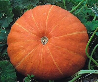 Vegetable - Pumpkin - Hundredweight - 25 Seeds